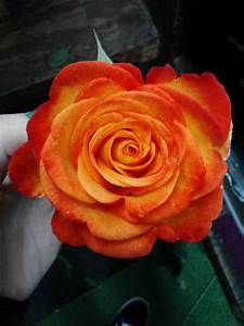 orange rose on Tumblr