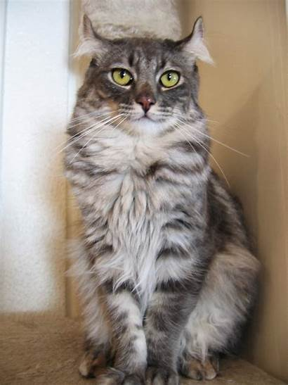 Curl American Breed Cat Lucky Refer Wikipedia