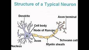 Auditory On A Diagram Of A Neuron
