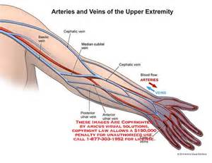 Arm Veins and Arteries Diagram