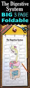 Digestive System Foldable