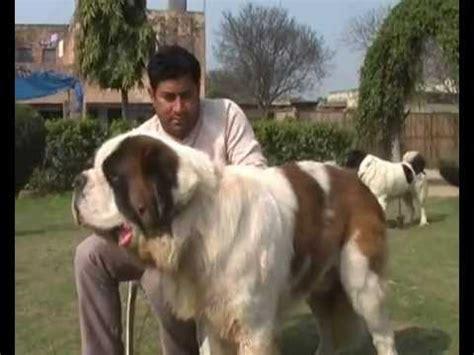 saint bernard mastiff dogs puppies  sale variety