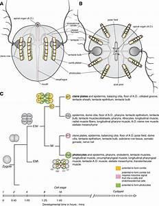 Ctenophore Development And Cell Lineage  Ctenophore Body