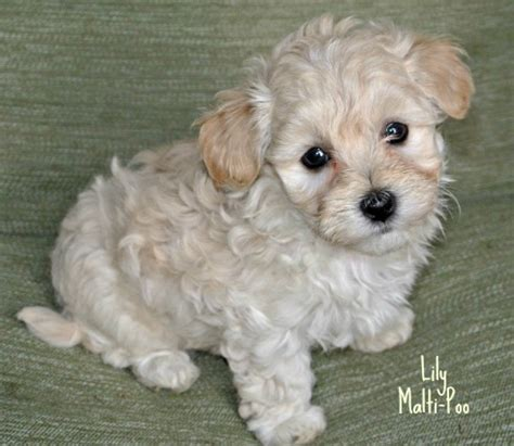 Hypoallergenic Non Shedding Dog Breeds by Toy Poodle The Right Breed For You
