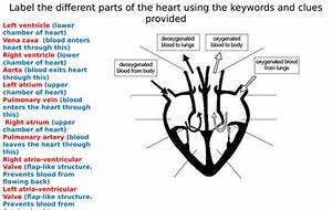 The Heart Diagram Label Worksheets  Differentiated  By