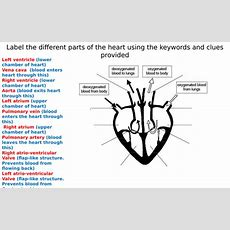 The Heart Diagram Label Worksheets (differentiated) By Zmzb  Teaching Resources