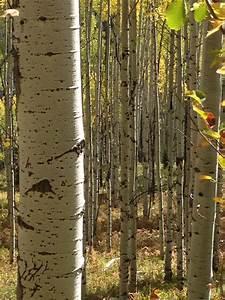 Aspen, Trees