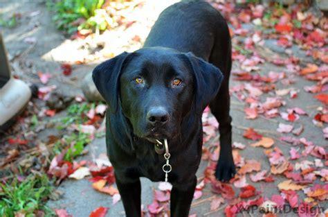 Black Lab in Autumn Leaves | Autumn leaves, Black lab, Puppies