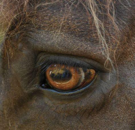 horse eye horses eyes anatomy colors carousel amber pretty hobby brown coca cola restoration majestic watercolor výsledek obrazku cats pro
