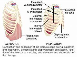 Mechanics Of Pulmonary Ventilation