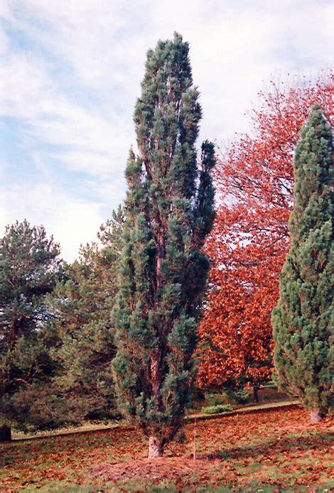 Scotch Sentinel Pine (Pinus sylvestris 'Fastigiata') in