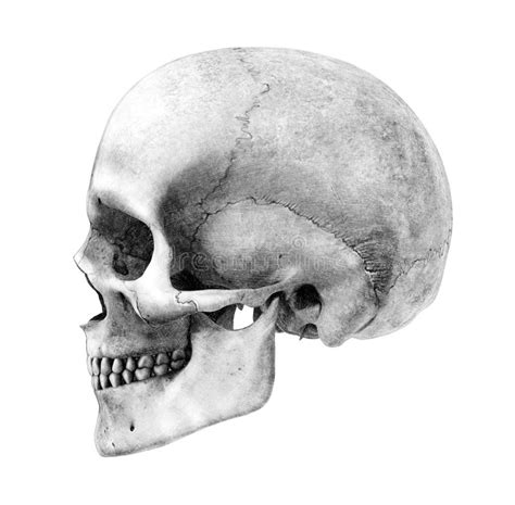 Human Skull Side View Pencil Drawing Style Stock