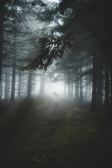 wallpaper white wolf majestic forest trees foggy light    wallpapermaiden