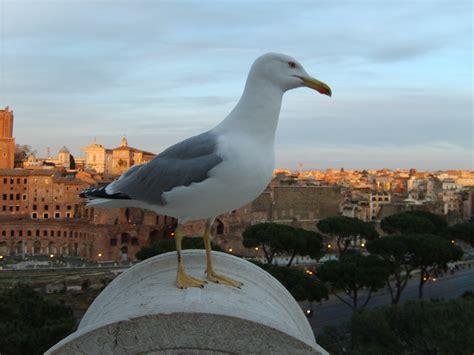 Il Gabbiano Uccello by File Gabbiano Vittoriano Jpg