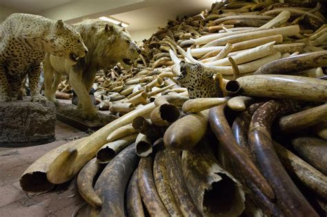cold war radioactivity  date illegal elephant ivory