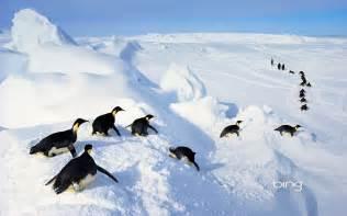 Emperor Penguin Bing