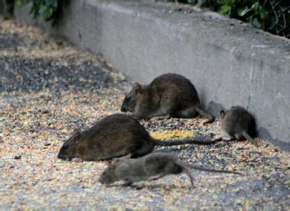 was fressen ratten am liebsten ratten im offenstall offenstall org