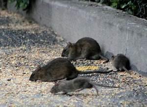 Was Fressen Ratten : ratten im offenstall ~ One.caynefoto.club Haus und Dekorationen