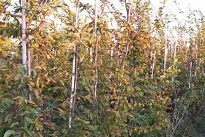 Immergrüne Sträucher Und Bäume : rosenbrock baumschulen gartengestaltung ~ Michelbontemps.com Haus und Dekorationen