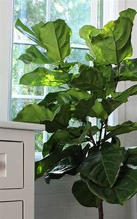 fiddle leaf fig tree The Fig and I: Tips for Caring for Fiddle Leaf Fig Trees ...