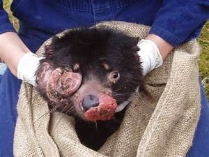 Tasmanian Devils Are Being Shipped To A Private Island To ...