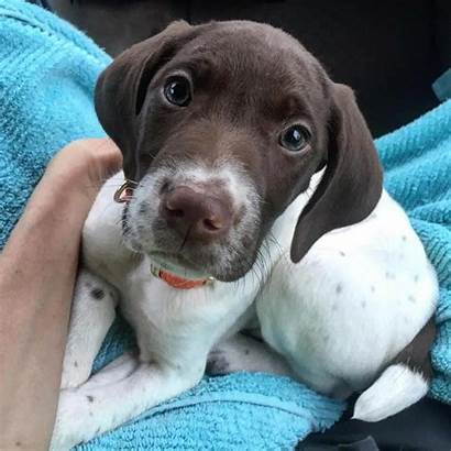 Pointer German Shorthaired Dog Gsp Breed Akc