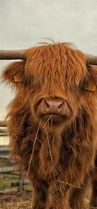 Highland, Cow, Phone, Desktop, Wallpapers, Pictures, Photos