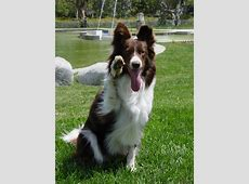 The gallery for > Australian Cattle Dog Mix With Border