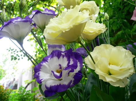 lisianthus wallpapers images  pictures backgrounds
