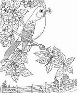 Robin Coloring Bird Michigan State Printable Robins Coloriage Birds Sheets Dibujo Ausmalbilder Dibujos Disegni Colorear Kostenlos Colorare Apple Blossom Adult sketch template