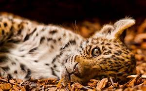 Little leopard wallpapers and images - wallpapers ...
