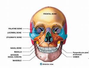 Quiz 2  Lab 3  Facial Bones