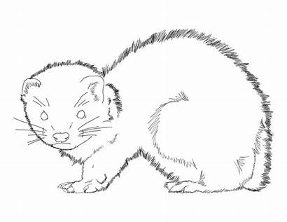 Ferret Coloring Outline Ferrets Printable Animal Drawing