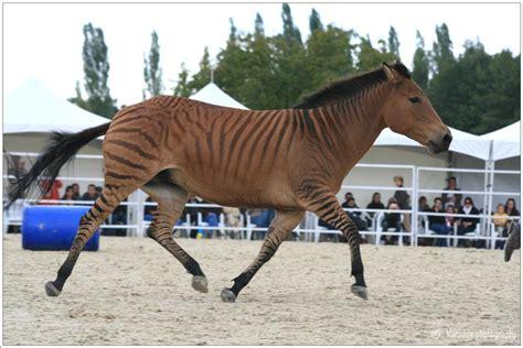 zorse horse zebras zebra zebroid facts deviantart horses animal zorses google pony wild breed donkeys creation cross burros between
