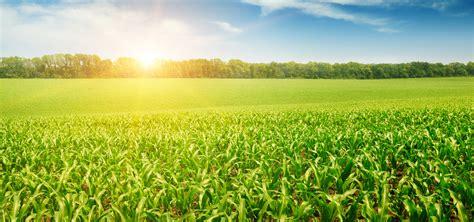 Background Crop Corn Crops Corn Crop Sunlight Background Image