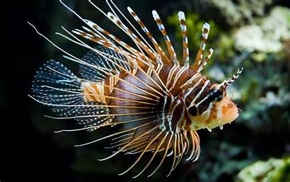 Fish Lionfish Animals Fishes Ocean Wallpapers Desktop
