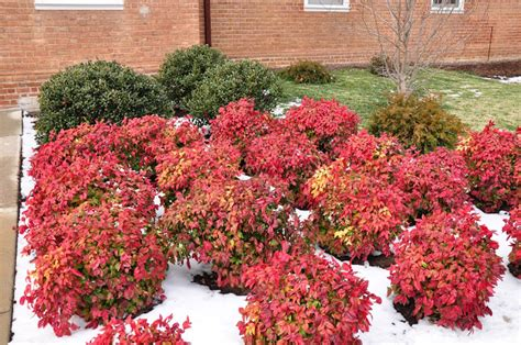 winter shrubs winter pruning is the new black