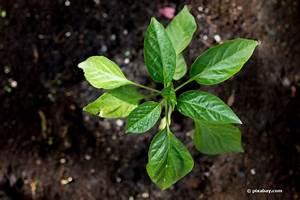 Mondkalender Für Pflanzen : paprika s en so ziehen sie ihn in der wohnung mondkalender 2018 ~ Orissabook.com Haus und Dekorationen