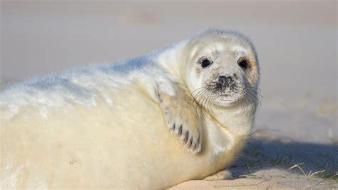 seal pups  blakeney point national trust