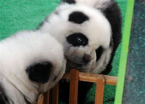 Theyre black white huge China theyre dogs Panda lookalikes hit new middle class pet owner says ten years ago wed eaten them