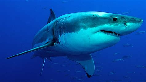 Deep Blue, A Real-life 'jaws,' Caught On Camera Off The