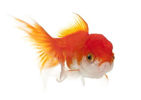 types  goldfish