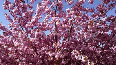 Japanese Pink Cherry Blossom Sakura Tree Stock Footage
