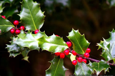 photo holly berries on a holly bush mg 0123 by