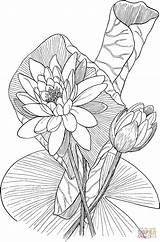 Lily Coloring Pages Water Printable Drawing Odorata Nymphaea Fragrant Paper Silhouettes sketch template