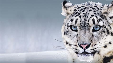 snow leopard  blue eyes animal hd wallpaper