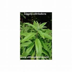 Verveine Plante Tisane : verveine citronnelle odorante plante de lippia citriodora ~ Mglfilm.com Idées de Décoration