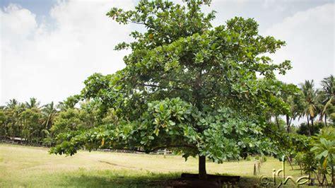 of tree bilva tree and lord shiva navrang india