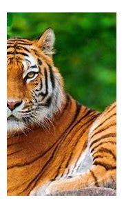 nature, Animals, Tiger, Big Cats Wallpapers HD / Desktop ...