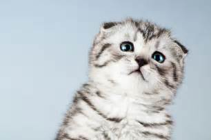 scottish fold cats scottish fold cat breed information pet365